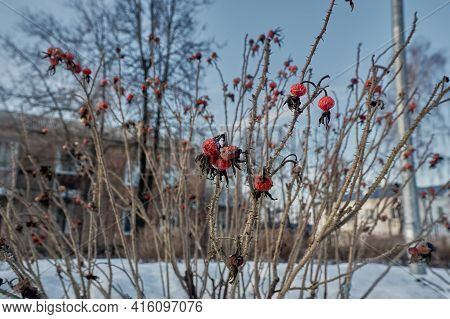 Medicinal Plants Of Hawthorn. Hawthorn Bushes With Dried Berries. Spring Weather. Blue Sky.