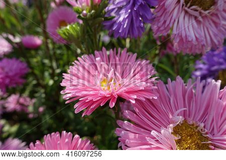 Florescence Of Pink China Asters In September