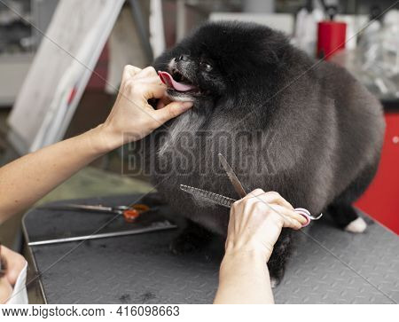 Spitz Grooming. Grooming By A Professional Groomer In The Salon. Happy Dog At The Groomer. Pet Hairc