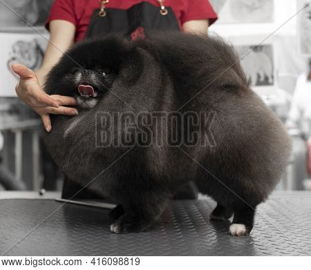 Spitz Grooming. Grooming By A Professional Groomer In The Salon. Happy Dog At The Groomer. Appointme