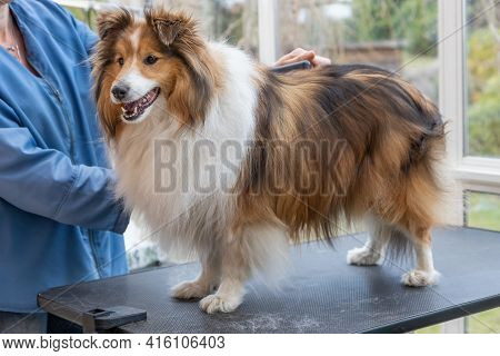 Trimming Shetland Sheepdog By Professional Groomer Woman.  The Dog Is Standing On The Table.