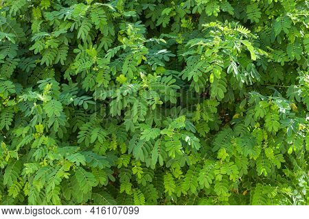 Fresh green foliage of Black Locust (False Acacia)