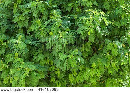 Fresh green foliage of Black Locust (False Acacia)
