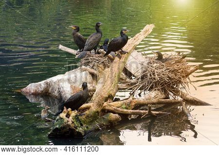 The Great Cormorant Phalacrocorax Carbo, Known As The Black Shag In New Zealand And Formerly Also Kn