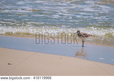 Willet Standing On The Shore In The Gulf Of Mexico In Gulf Shores, Alabama, Usa