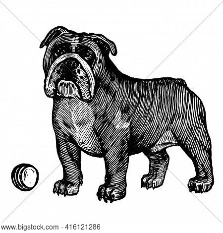 British Bulldog, A Dog With A Ball, Vector Illustration. Vintage Graphics And Handwork. The Dog Stan
