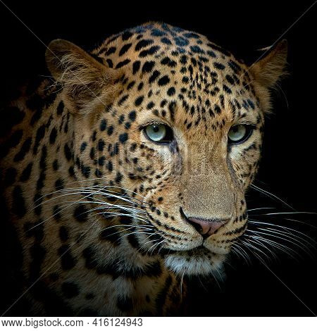 Panther In Dark Forest, Great Bearing And Appearance, Wild Life