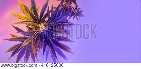 Flowering Cannabis Plant Top View. Banner With Medicinal Marijuana. Fresh Modern And Trendy New Look