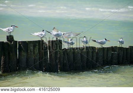 The Royal Tern (thalasseus Maximus), Also Known As The Royal Tern Or Royal Tern, Is A Species Of Bir