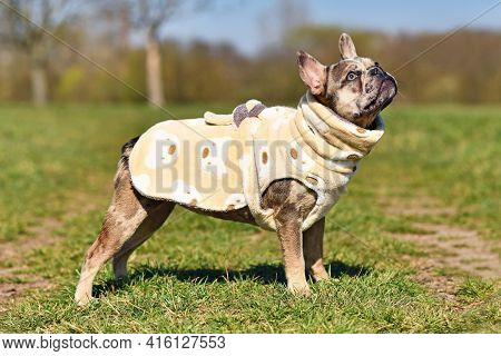 Merle Colored  French Bulldog Dogs Wearing Bathrobe Made From Fleece Fabric To Dry Faster After Taki