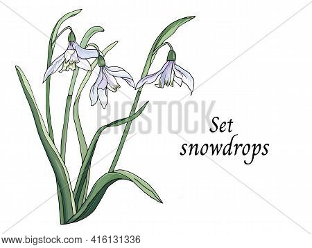 Spring Snowdrops Carved On A White Background, Graphic Drawing Of Wildflowers. Botanical Vector Illu