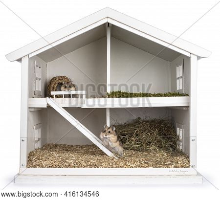 Two Brown Adult Hamster, Sitting In  White Wooden Dollhouse Transformed To Hamster Cage. Isolated On