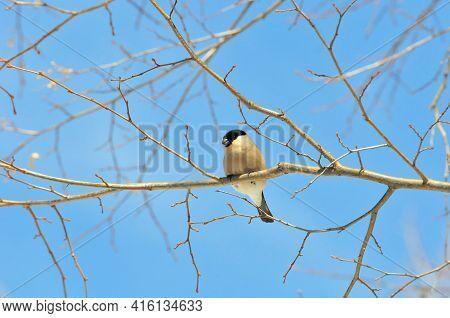 The Bullfinch Sits On A Tree Branch In The Park. Eurasian Bullfinch,female.