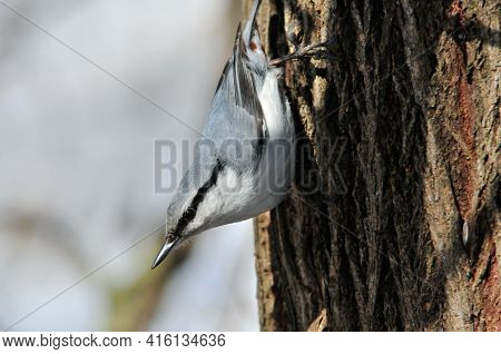 The Eurasian Nuthatch Or Wood Nuthatch Is A Small Passerine Bird.