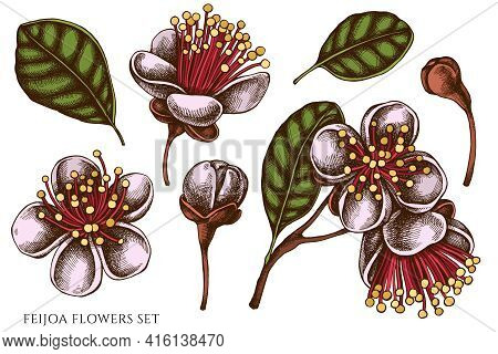 Vector Set Of Hand Drawn Colored Feijoa Flowers Stock Illustration