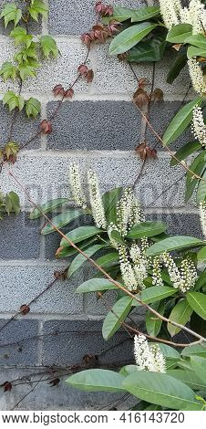 Vertical Photo Of Evergreen Laurel Branches White Racemes Of Inflorescence, Green Brown Ivy Shoots O