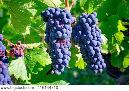 Green Vineyards Located On Hills Of  Jura French Region, Red Pinot Noir, Poulsard Or Trousseau Grape