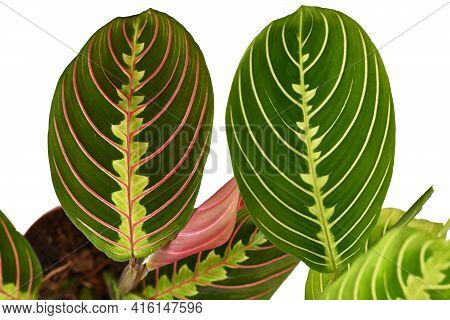Comparison Between Red Veined Houseplant With Botanic Name 'maranta Leuconeura Fascinator' And Green