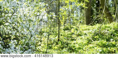 Blooming Tree Branches In The Woods, Spring Banner Sunny Day. Spring Background