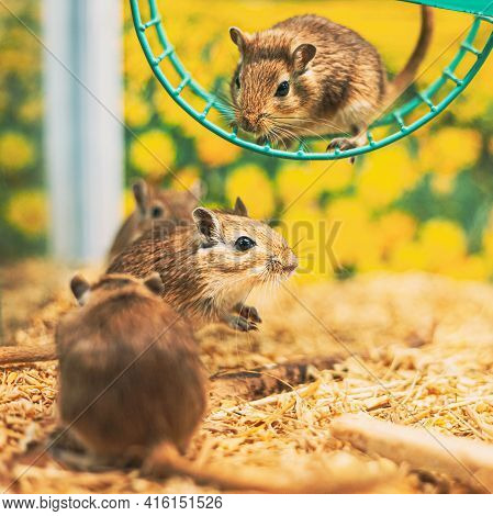 Meriones Unguiculatus, The Mongolian Jird Or Mongolian Gerbil Is A Rodent Belonging To Subfamily Ger