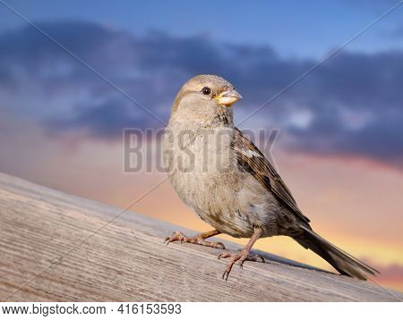 Sparrow Sits On A Railing, Sunset Sky. House Sparrow (passer Domesticus), Female.