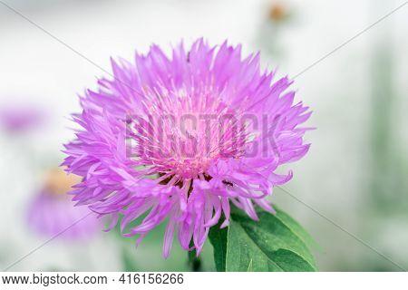 Purple Wildflower. Purple Cornflowers On A Field On A Summer Day