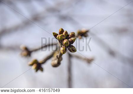 Many Swollen Cherry Buds At End Of Branch. Early Spring. Beginning Of Juice Movement. Preparing Buds