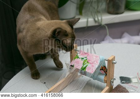 Weaving From Beads. Curious Domestic Siamese Cat Is Interested In Bead Jewelry. The Braiding Machine