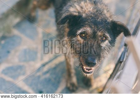 Portrait Of Dog In Shelter Funny Pooch Outdoor. Closeup Sad Homeless Abandoned Brown Old Dog. Pet Ca