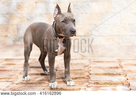 Blue American Staffordshire Terrier, Cropped Ears. Pedigree Trained Dog. Training, Obedience Of Grey