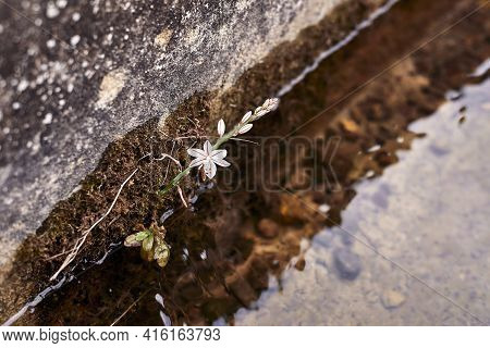 A White Flower In An Irrigation Ditch. Asphodelus Fistulosus, Chamois, Water, Moss, Traditional Agri