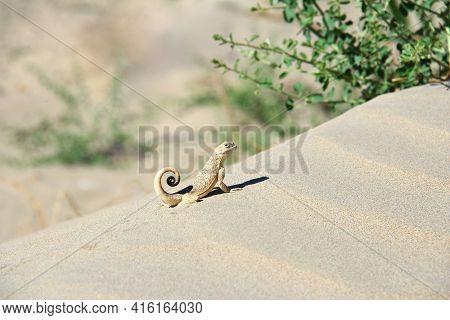 Lizard In The Sand Near The Bush. Little Lizard Sits On A Sand Dune, Summer Sunny Day, Bushes Grow N