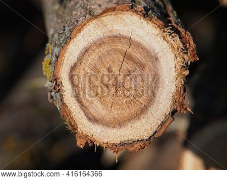 Black Locust Log, Cross Section With Rings