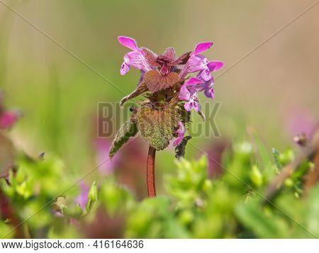 Purple Deadnettle Blooming Plant In Spring, Lamium Purpureum