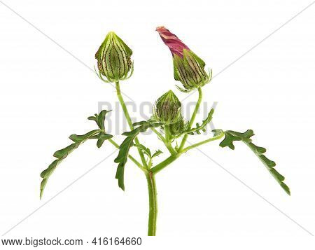 Flower-of-an-hour Or Bladder Hibiscus Plant Isolated On White, Hibiscus Trionum