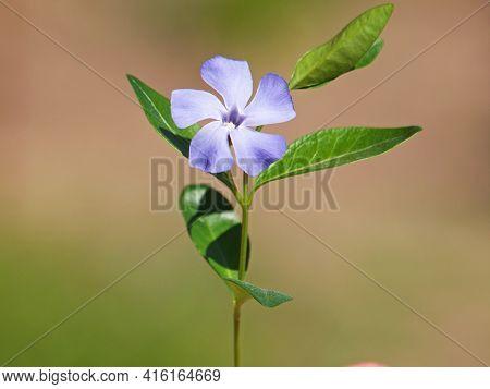 Single Blue Flower Of Periwinkle Or Vinca
