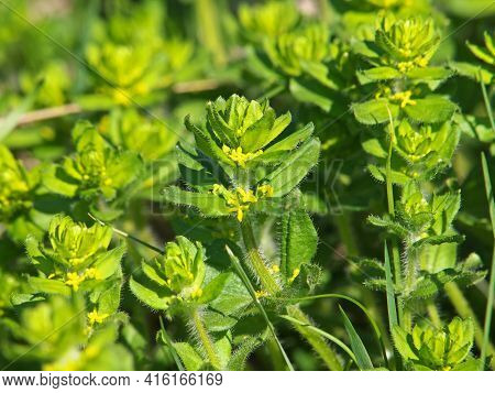 Yellow Flowers Of Crossword Or Smooth Bedstraw, Cruciata Laevipes