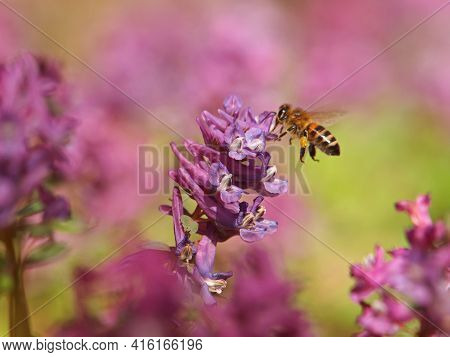 Hollowroot Or Holewort Plant With Purple Flowers And Bee On It, Corydalis Cava