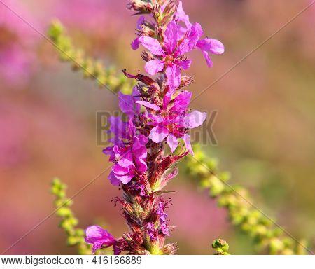 Purple Loosestrife Wild Flowers In Summer, Lythrum Salicaria