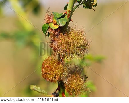 The Rose Bedeguar Gall On Dog Rose, Rosa Canina, Caused By The Gall Wasp, Diplolepis Rosae
