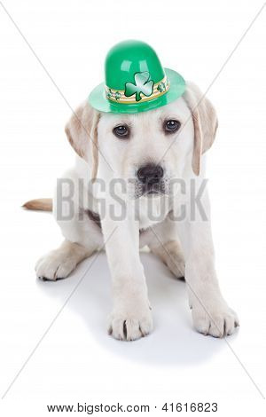 Saint Patrick's Day Labrador puppy dog wearing hat on white background. St patricks.