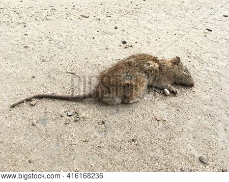 Dead Grey Rat On The Road. Rattus Norvegicus. Urban Scene Near A Supermarket. Rodent Hit By A Car On