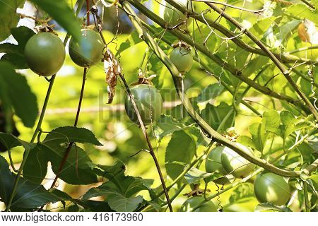 Green Passion Fruit On A Vine In A Farm