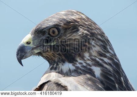 Galapagos Hawk, Galapagos Islands, Ecuador