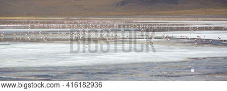 Panorama Of Group Of Pink Flamingos Standing And Eating On The Laguna Colorada Close To The Eduardo
