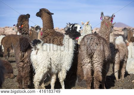 Group Of Llamas Standing Early In The Morning In An Enclosure At High Altitude With Blue Clear Sky I