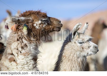 Portrait Of Llamas (lama Glama) Early In The Morning At High Altitude In Bolivia.