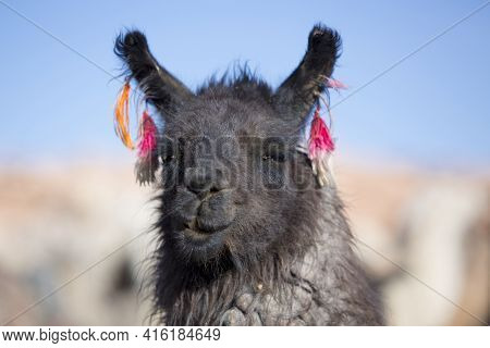 Portrait Of Llama (lama Glama) Early In The Morning At High Altitude In Bolivia.