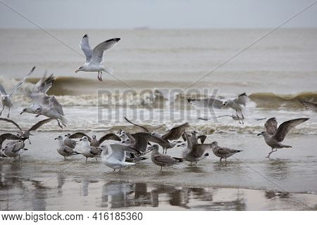 Group Of Seabirds Resting On The Beach Of Zeebrugge Near Ostende On The Belgian Coast