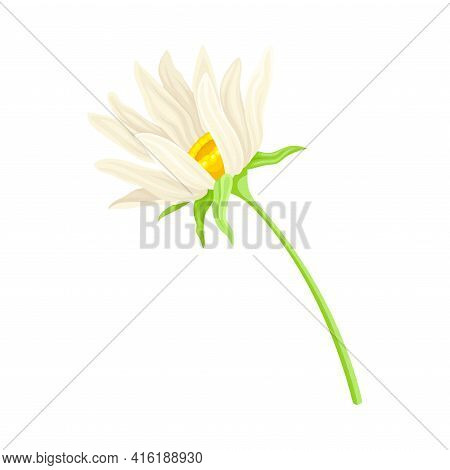 Common Daisy Or Bellis Perennis On Stem With White Ray Florets And Yellow Disc Floret Vector Illustr